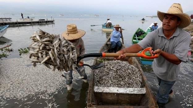 Local remove dead fish from Cajititlan lake on 31 August 2014