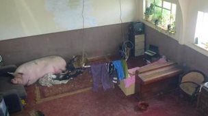 pig in house