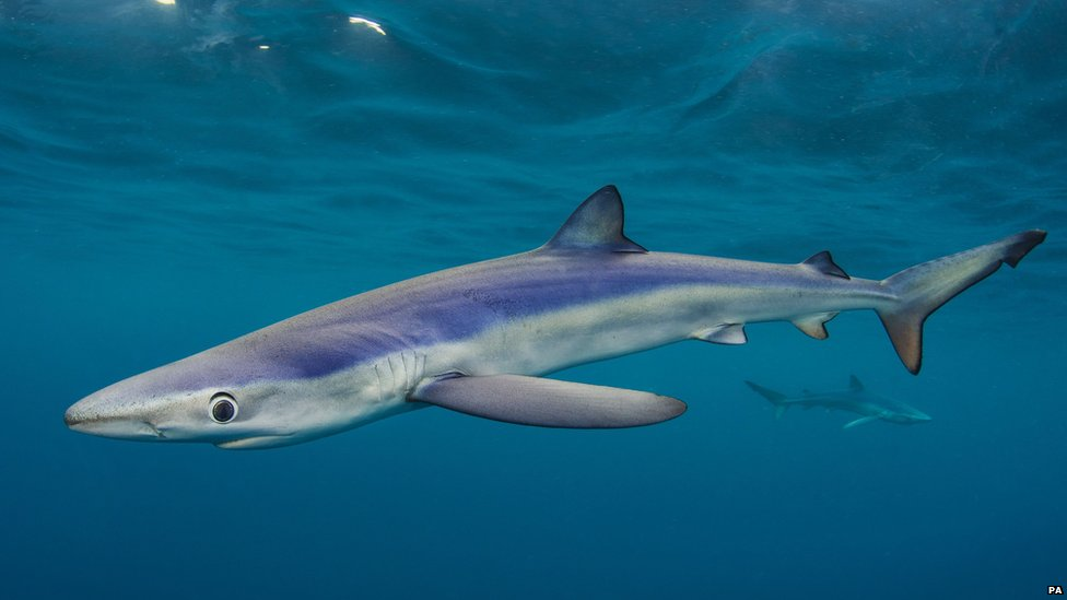 Big Blues, Blue Sharks by Alexander Mustard