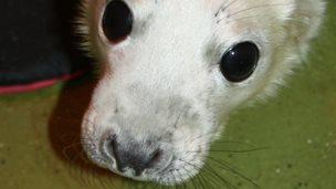 Abandoned grey seal pup