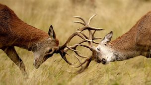 Two young Red deer stags practice their rutting in the long grass in Richmond Park, London - 1 September 2014
