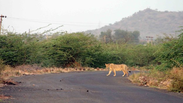 A lion strays in Liliadhar village, 125km from Gir forest