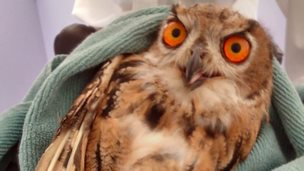 Owl found in Ystrad