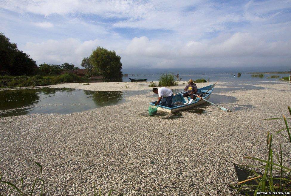 Fishermen collect dead fish on Cajititlan lake