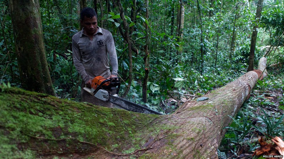A logger saws a tree trunk into four equal chunks for easier transport in the Peruvian jungle near the shores of the river Esperanza