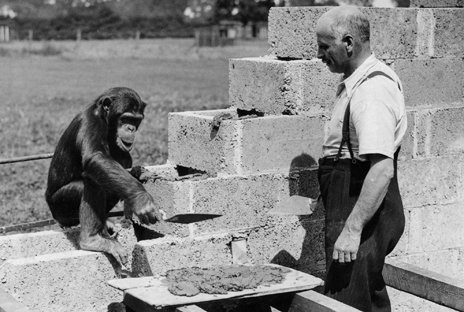 George Mottershead with a chimp