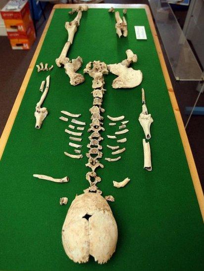 Blodwen's bones laid out on a table