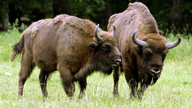 European bison stand in a field in the Bialowieza Forest of Poland