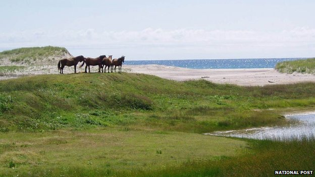A family of horses on Sable Island