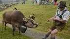 Herders wearing lederhosen attire attempt to persuade a cow to leave summer pastures in the mountains of the Allgaeu region of southern Germany (11 September 2014)