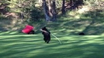 Bear cub on a golf course in Fairmont Hot Springs