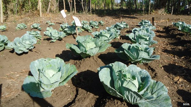 Leafy crops using human waste as compost