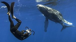 Researcher swimming with a humpback whale