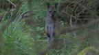 Wild Wallaby, Isle of Man