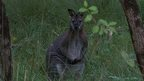 Wild Wallaby, Isle of Man