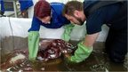 Kat Bolstad (L) of Auckland University works on a colossal squid with Aaron Evans of Otago University