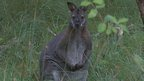 Wallabies are native to Australia and Tasmania