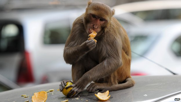 A monkey sits on top of a car as it eats an orange snatched from a fruit vendor in Delhi on December 5, 2012