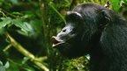 chimpanzee vocalising