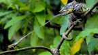 A panther chameleon (Furcifer pardalis) snaring its prey