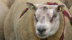 Hudhey Tenacious, a pedigree sheep