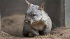 Southern Hairy-nosed Wombat joey Jedda