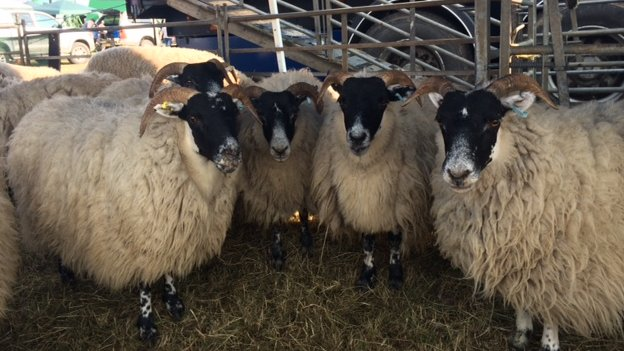 Sheep at Thame Show