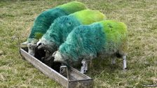 Sheep painted in Donegal colours