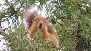 Nancy Somerville of Edinburgh was in Kingussie when she spotted this red squirrel spotting her.