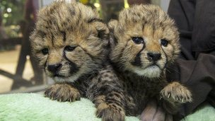 Baby cheetah cubs