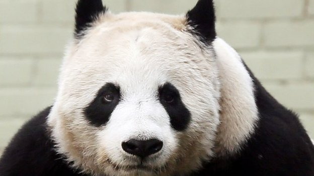 Tian Tian has been in Edinburgh for almost three years