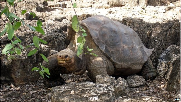 """Picture of """"Lonesome George"""", July 21, 2008 at the Breeding Centre Fausto Llerena of the Charles Darwin station in the Galapagos"""" Santa Cruz Island, in the Pacific Ocean, some 1000 km off the coast of Ecuador."""