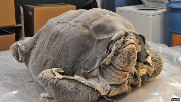 Lonesome George arrives frozen from the Galapagos Islands for preservatin at the AMNH in New York