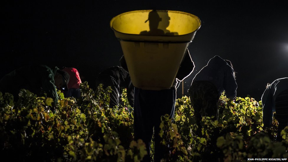 Pickers working at night cut grapes on the first day of the Beaujolais' harvest