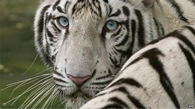 File photo of a white tiger at the Delhi zoo