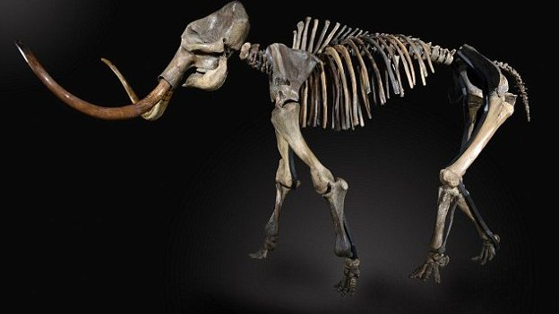 Woolly Mammoth skeleton  - stood full height with long tusks.