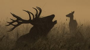A deer is seen bugling in the morning mist in Richmond Park in London