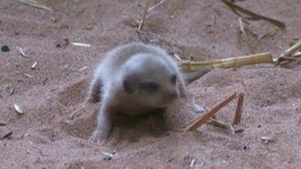 The baby meerkat