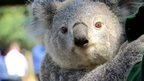 A koala hugs the curator, Chad Staples at Featherdale Wildlife Park in Sydney