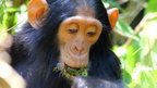 Chimp using a moss sponge (c) Liran Samuni