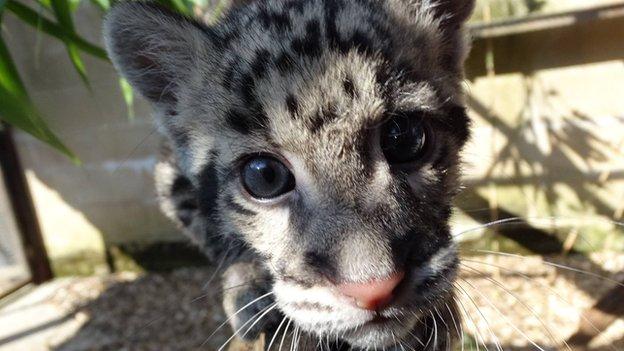 Nimbus the Leopard Cub