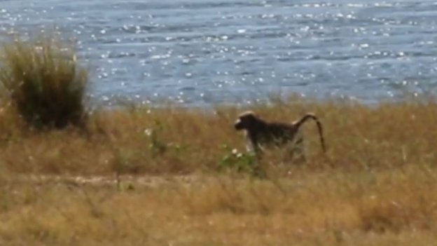Stranded baboon on an island on Lake Kariba