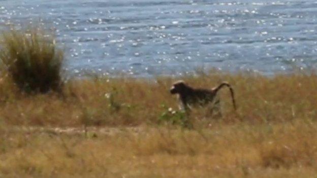 Stranded baboon on an island on Lake Kariba