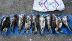 Nine dead buzzards