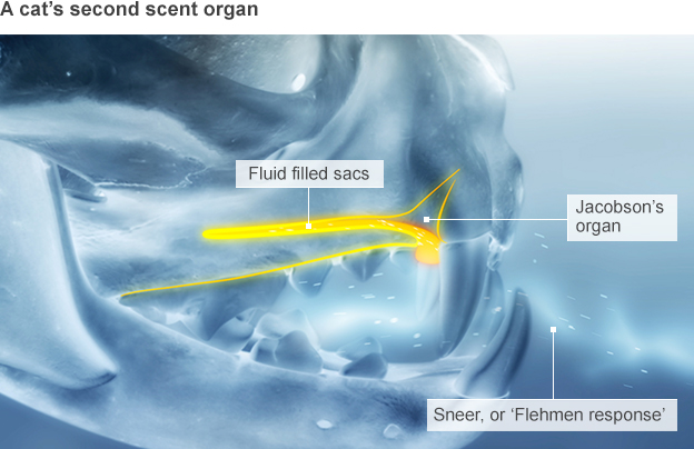 Graphic of a cat's second smelling organ