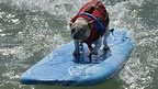 A surfing dog approaches a man