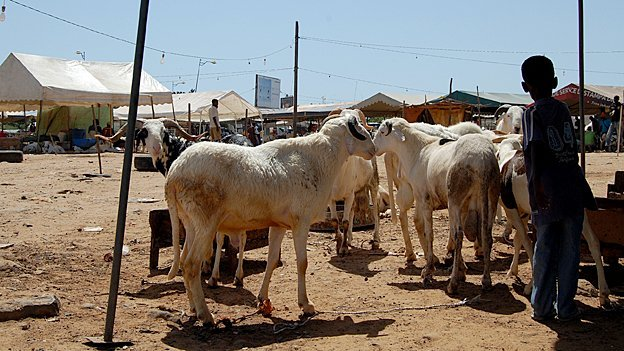 Sheep for sale in the centre of Dakar