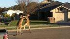 Kangaroos fighting