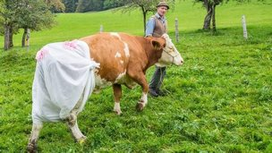 Cow in a nappie