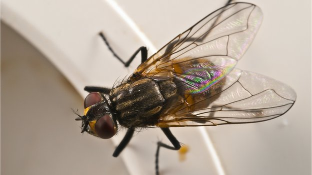 78177850 house fly spl 1 Fly genes hold clue to human illness